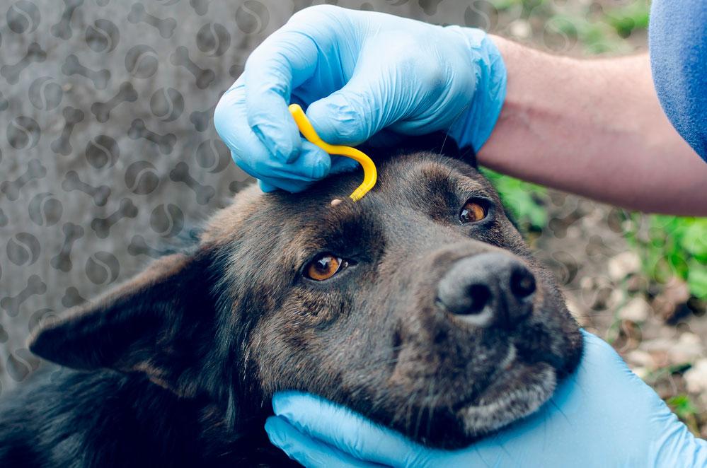 лечение бабезиоза у собак