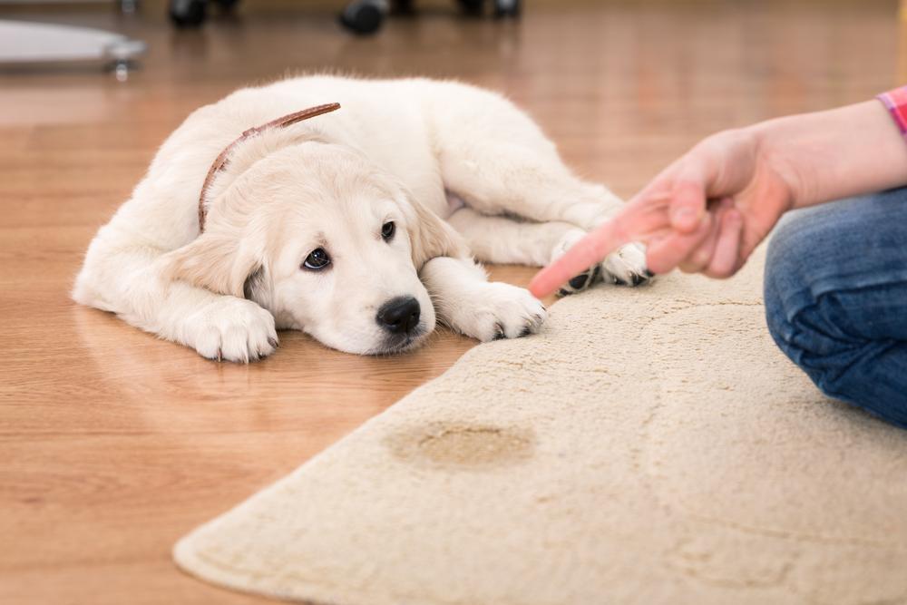 Цистит у собак  хронический идиопатический препараты антибиотики