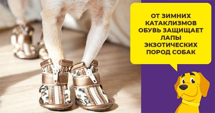 cd46d7fcff40 От зимних катаклизмов обувь защищает лапы экзотических пород собак, не  приспособленных к холодам. Такие животные мерзнут и простывают даже при  небольшом ...