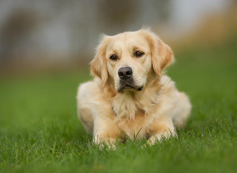Подробная инструкция по применению вакцины рабизин для собак