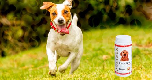У собаки отек суставов жар таз сустав вывих застарелый