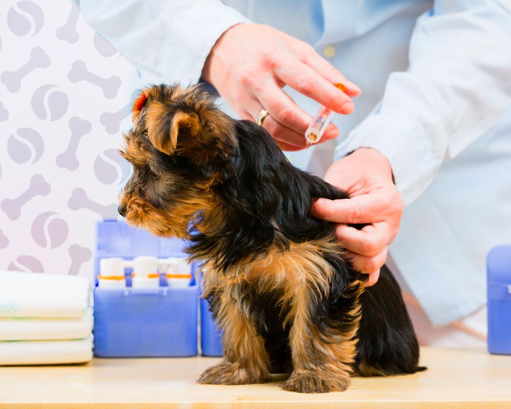 Подробная инструкция по применению вакцины от бешенства эурикан для собак