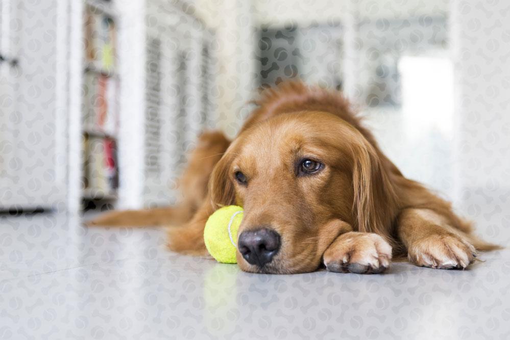 Ложная беременность у собак: что делать, сколько длится, симптомы и лечение