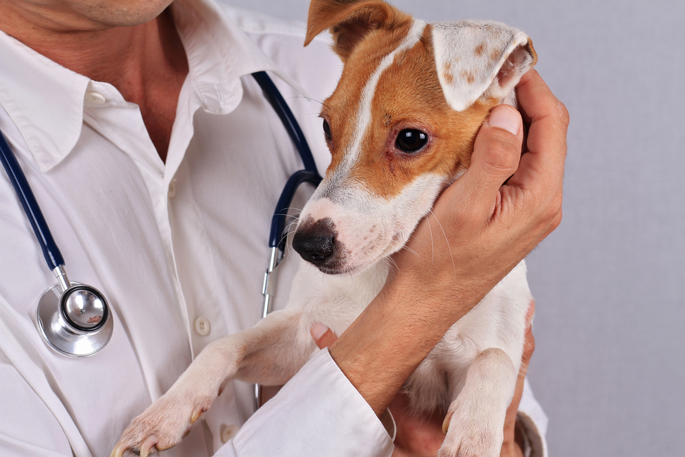 Аллергия у собак виды и методика их лечения