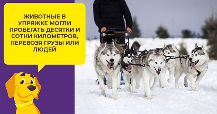 Как ухаживать за сибирским хаски с первых дней появления в доме