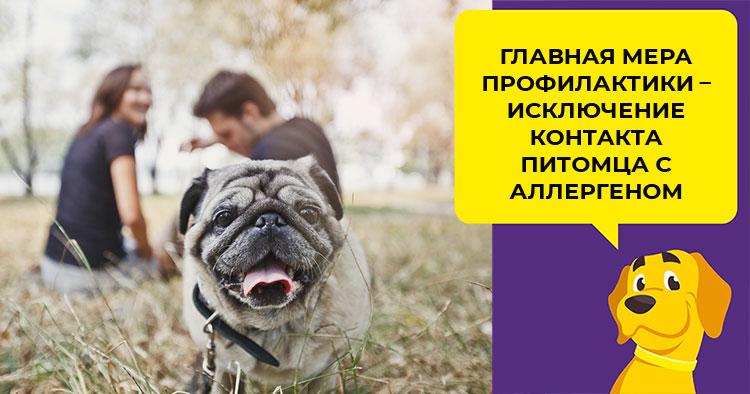 Чем кормить щенка мопса если у него аллергия thumbnail