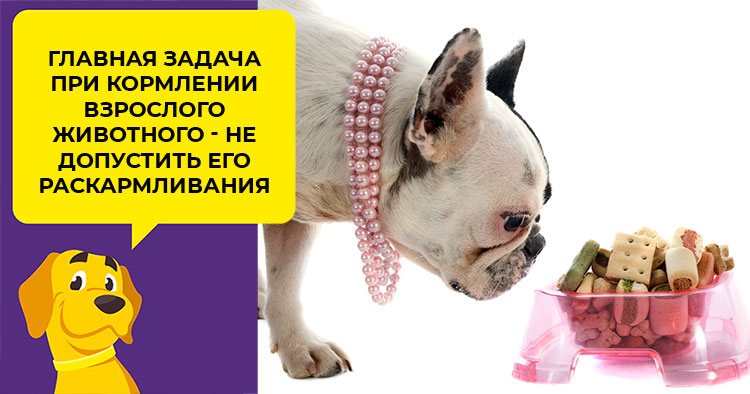 Правильное кормление французского бульдога: от щенка до старости