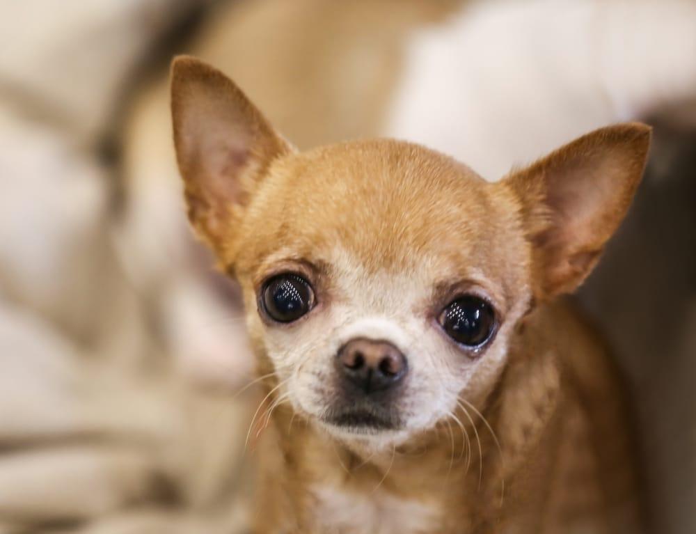 Уход за собакой после стерилизации без вызова осложнений