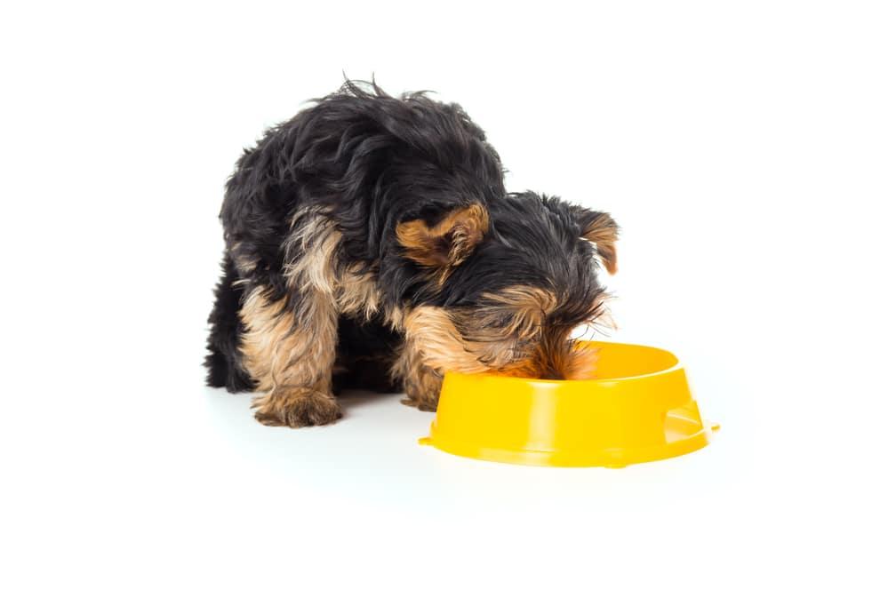 Какой корм лучше для щенков йорков: как правильно кормить своего аристократа