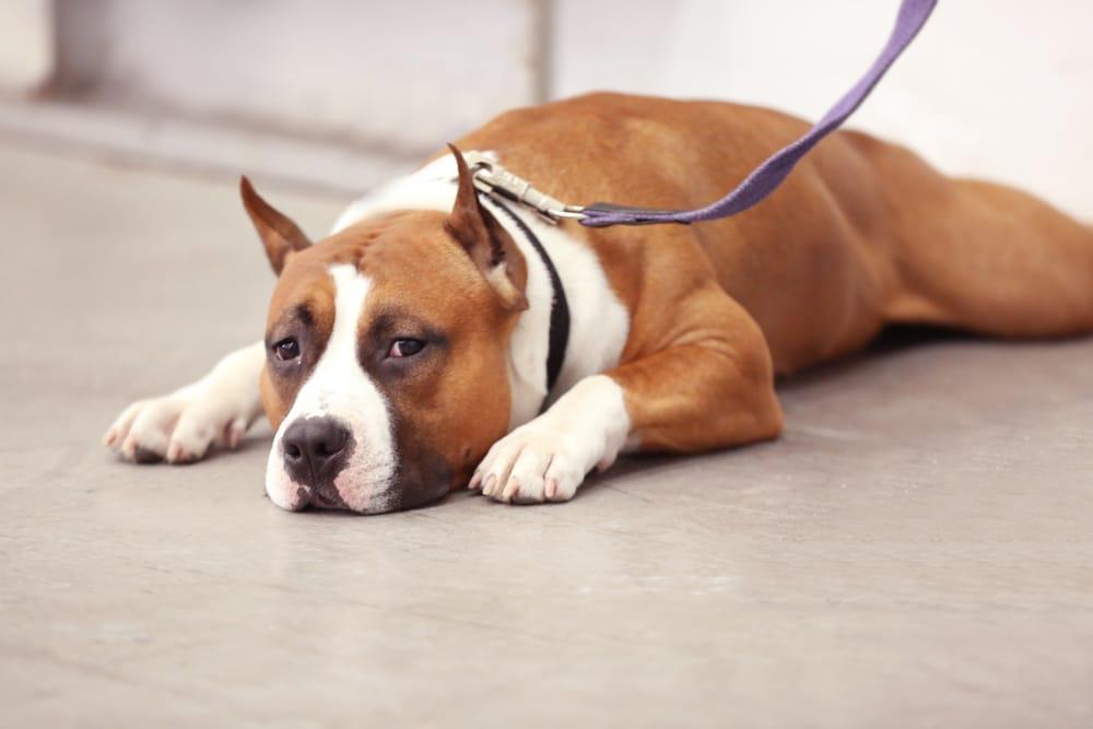 Нужно ли питбулям купирование ушей и хвоста: мнения ветеринаров