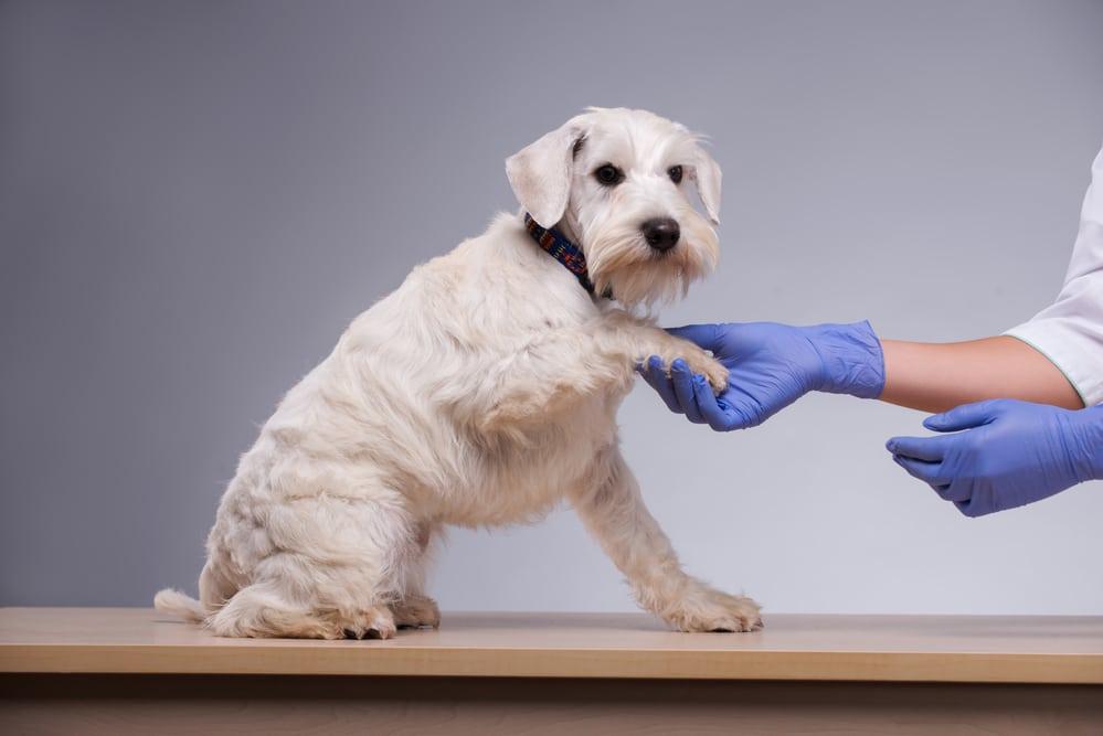 Как вылечить перхоть у щенков и собак