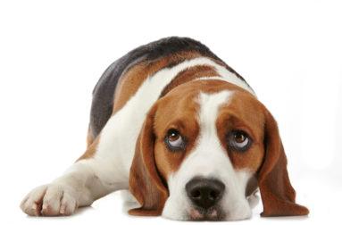 Как понять, что у собаки почечная недостаточность и чем ее лечить