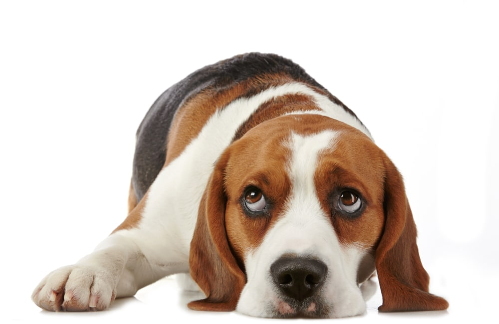 Как выбрать и вырастить щенка бигля: правила ухода и воспитания