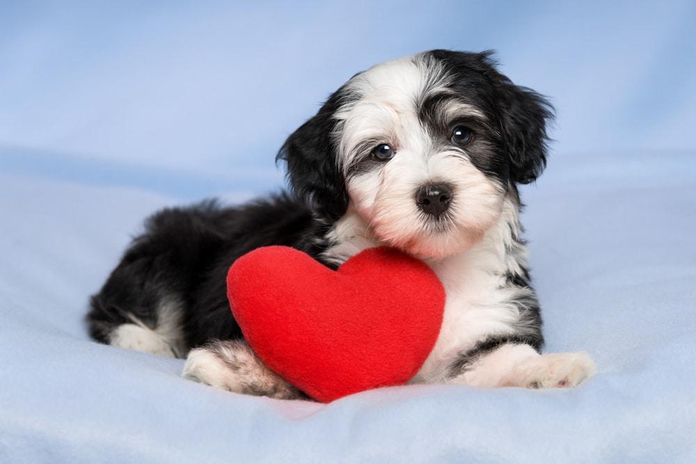 Ветмедин - препарат, помогающий при заболеваниях сердца у собак