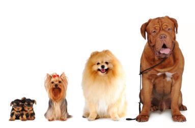Достоинство щенков по угрозой если есть крипторхизм
