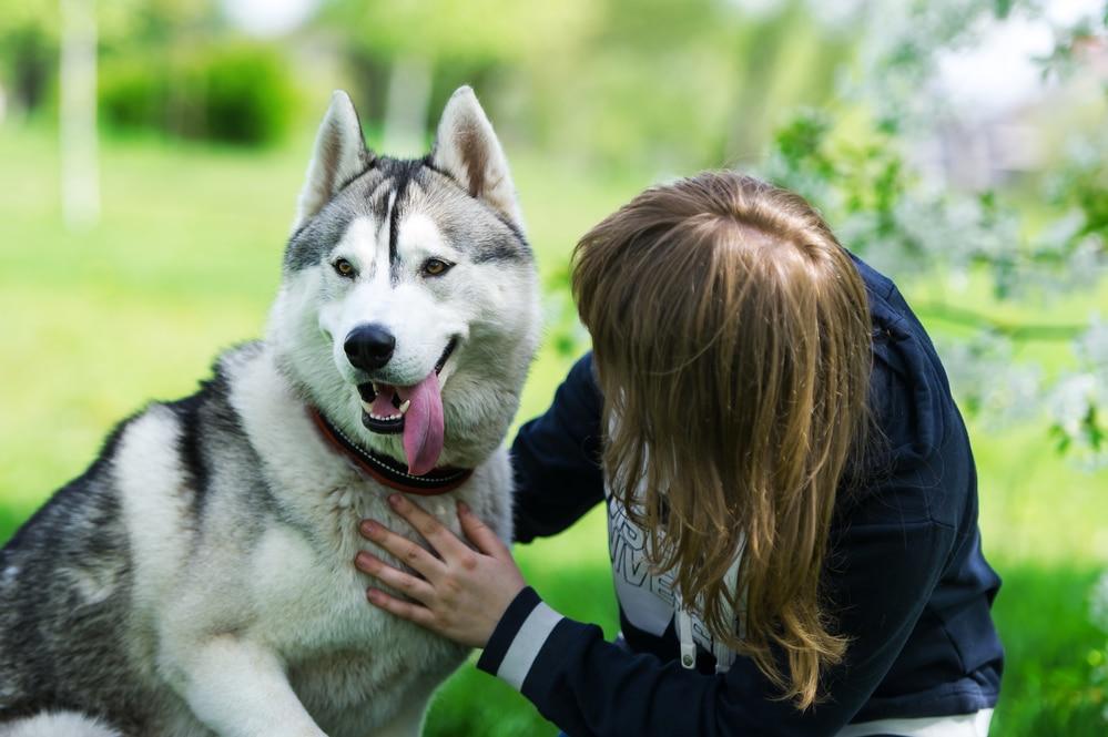 Как выбрать ошейник, поводок или шлейку для собаки породы хаски