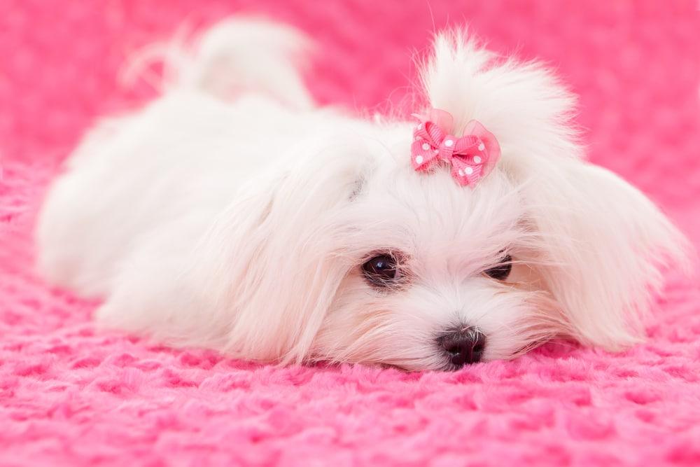 Собаки, которые не линяют и без запаха псины