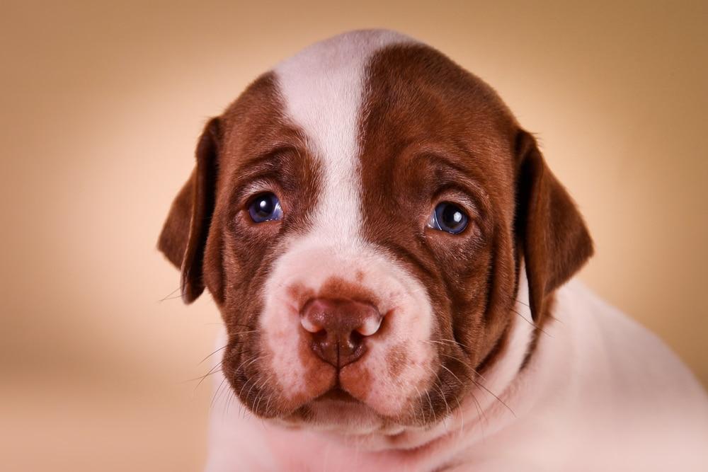 Как выбрать щенка питбуля и воспитать послушного пса
