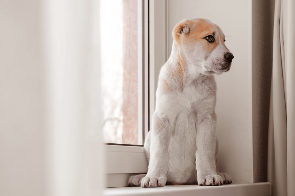 Купирование ушей и хвоста у алабая: мнения ветеринаров