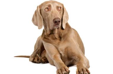 Когда и как купируют хвосты щенкам спаниеля