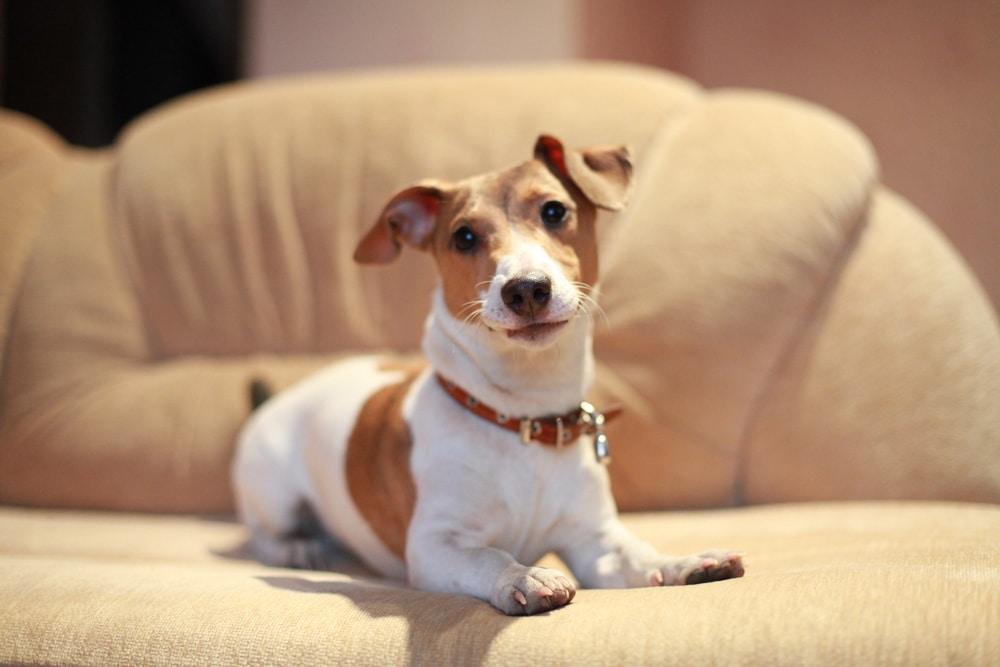 Как лечить дисплазию тазобедренного сустава у собак