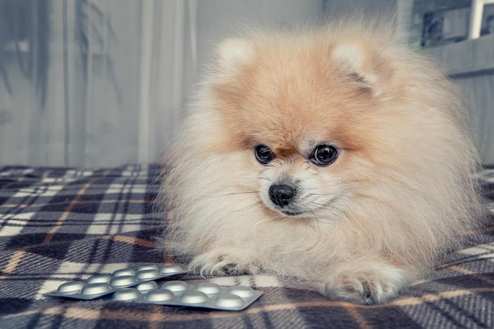 Жевательные таблетки Нексгард Спектра - защита собаки от паразитов