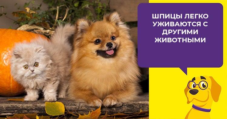 Содержание померанского шпица: как вырастить здорового и красивого пса