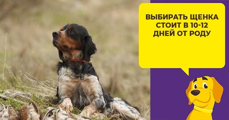 Как выбрать щенка русского спаниеля и правильно за ним ухаживать