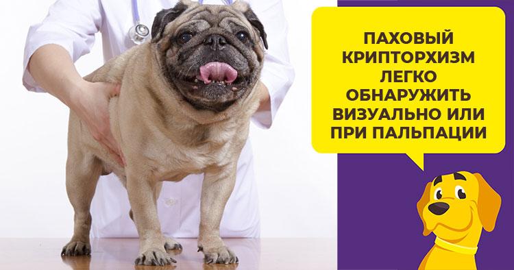 Почему у щенков развивается крипторхизм и чем можно помочь собаке