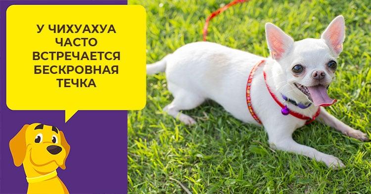 Сколько длится течка у чихуахуа и как следить за собакой в этот период