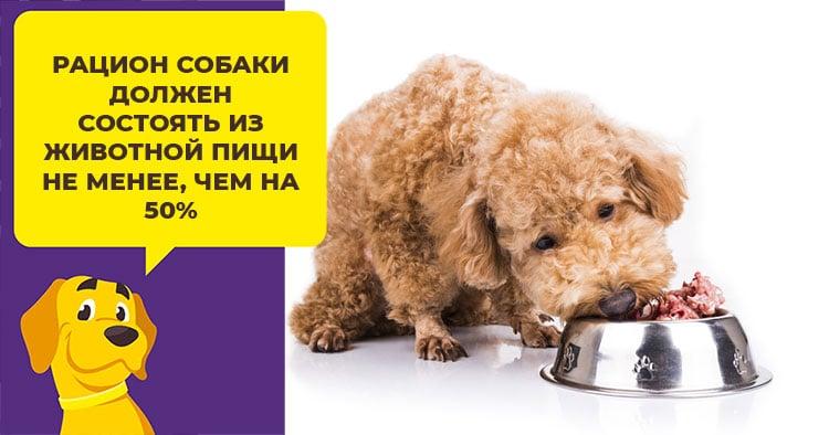 Как выбрать корм для пуделя: учитываем возраст и размер собаки