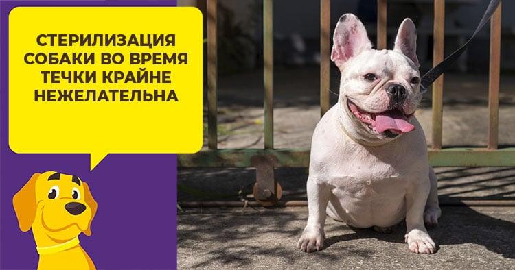 Стерилизация собаки во время течки: за и против, последствия, уход