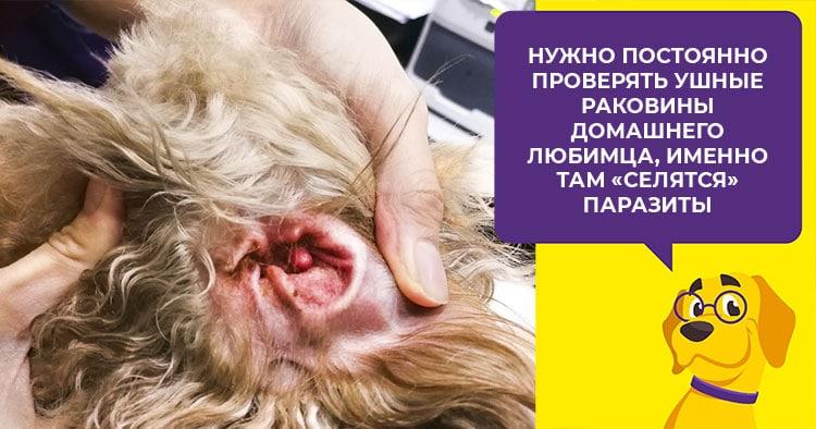 Отодектоз у собак – симптомы, причины и лечение ушной чесотки 2019